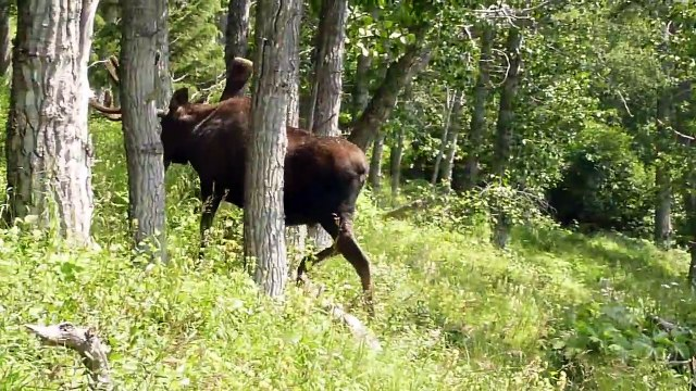 Moose in Chugach State Park