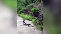 La inquietante pelea de tres serpientes
