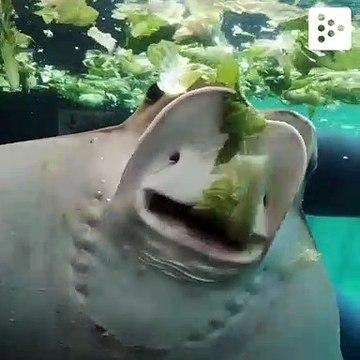 A stingray eating lettuce