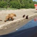 Mother and Baby Bears Play by Plane on Beach