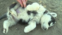 Husky Puppy Gets Belly Rub - Puppy Love