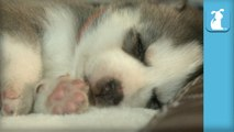 Baby Husky Puppies Dreaming And Twitching While Sleeping - Puppy Love