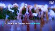 Comment naissent les méduses ?