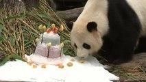 Le femelle panda Jiao Qing fête ses 9 ans avec un gâteau au zoo de Berlin