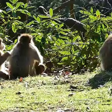 Baboons Capture