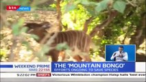 "Efforts ongoing to save ""Mountain Bongo"", among rare species with less than 200 countrywide"