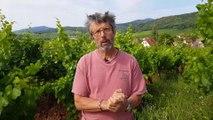 Grands crus d'Alsace : Le Zotzenberg