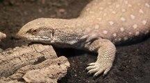 Pet lizard goes for walk