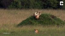 Ce lion a la flemme de se mettre sur ses pattes : glissade ridicule