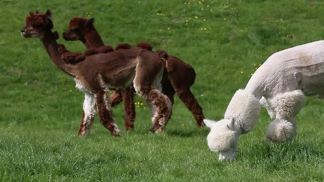 Alpacas get a new hairdo