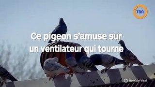 Ce pigeon s'amuse en étant assis sur un ventilateur !