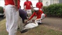 La Casa Real británica realiza su particular recuento de cisnes