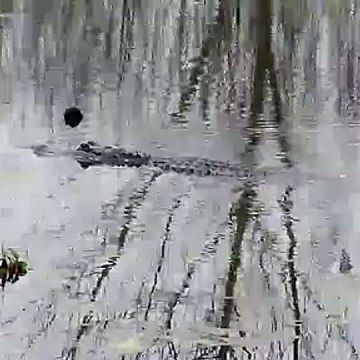 Alligator in Brazos Bend