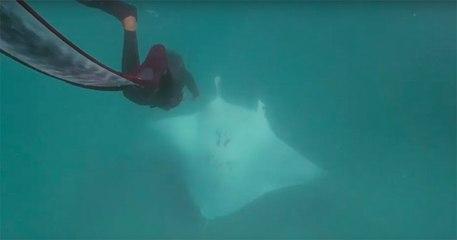 Une raie manta demande de l'aide à des plongeurs, ils lui sauvent la vie