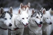 """Le Husky sibérien : avoir la """"Formule 1 des chiens de traîneau"""" comme animal de compagnie"""