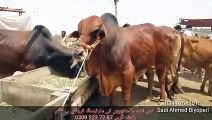 Sahiwal Cow - Farm Houses - Price in Pakistan - Shahpur