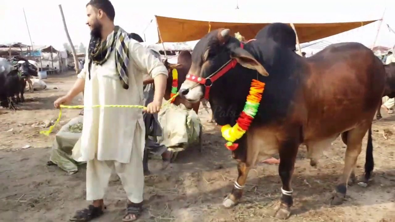 Sahiwal Cow in Lahore Cow and Bakra Mandi 2019 Pakistan