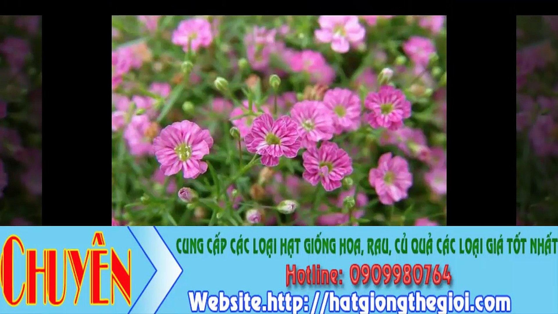 Hạt Giống Hoa Baby Trắng, Hạt Giống Hoa Hồng, Hạt Giống Hoa Salem