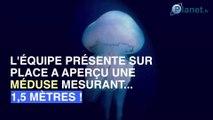 Une méduse géante découverte dans la Manche