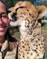 Ce guépard donne des bisous à sa maîtresse. Trop cute !