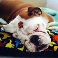 Ecoutez les ronflements de ce bulldog. Hilarant !