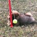 Quand une balle de tennis rend dingue une chienne, voici ce que ça donne !