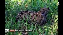 Brésil : plongée au cœur d'un des derniers sanctuaires des jaguars