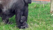 Regardez comment cette maman gorille transporte son bébé... Adorable