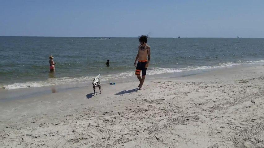 Dalmatian Puppy Runs with Owner Across Beach