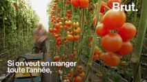 Faut-il renoncer à manger des tomates toute l'année ?