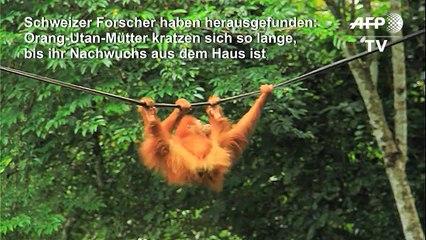 Orang-Utan-Mütter kratzen zum Aufbruch