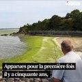 Les algues vertes de retour en Bretagne