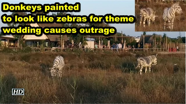 Donkeys painted to look like zebras for theme wedding causes outrage
