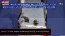 Nouvelle-Zélande : Des manchots trouvent refuge dans un restaurant de sushis (Vidéo)