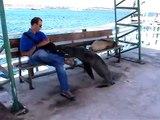 Ce lion de mer vient s'asseoir sur un banc à coté d'un touriste... Sympa
