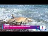 Tortuga, lobo marino y peces muertos tras derrame de ácido sulfúrico en aguas del Mar de Cortés