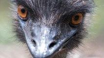 North Carolina's Newest Celeb Is An Emu On The Lam