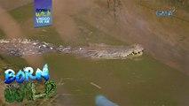 Born to be Wild: Dalawang saltwater crocodiles, ano kaya ang kondisyon?