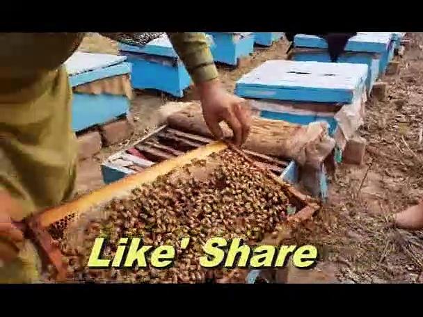 Honey Bee Making Tricks in Urdu Hindi – Bee Form In Pakistan