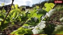 LES TUTOS VINS - Vins blancs : pourquoi donnent-ils la migraine ?
