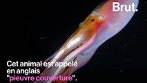 Une «pieuvre arc-en-ciel» filmée au large des Philippines