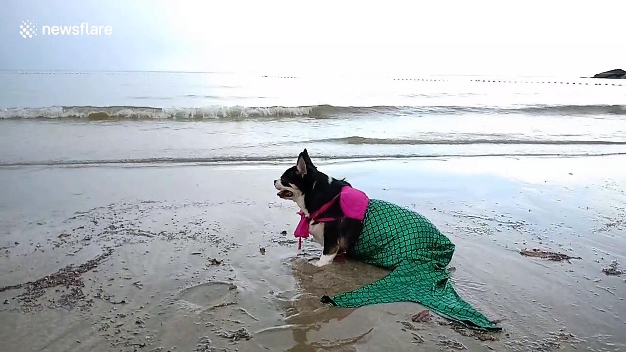 Happy chihuahua poses on Thailand beach as mermaid