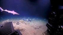 Quand le chasseur devient proie : Un mérou géant avale un requin