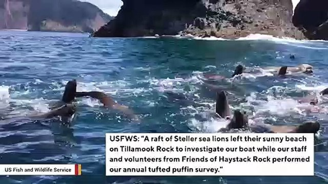 Watch: Sea Lions Chase Boat During USFWS Survey