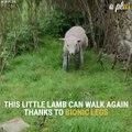 A Disabled Lamb Walks Again, After Receiving Bionic Legs