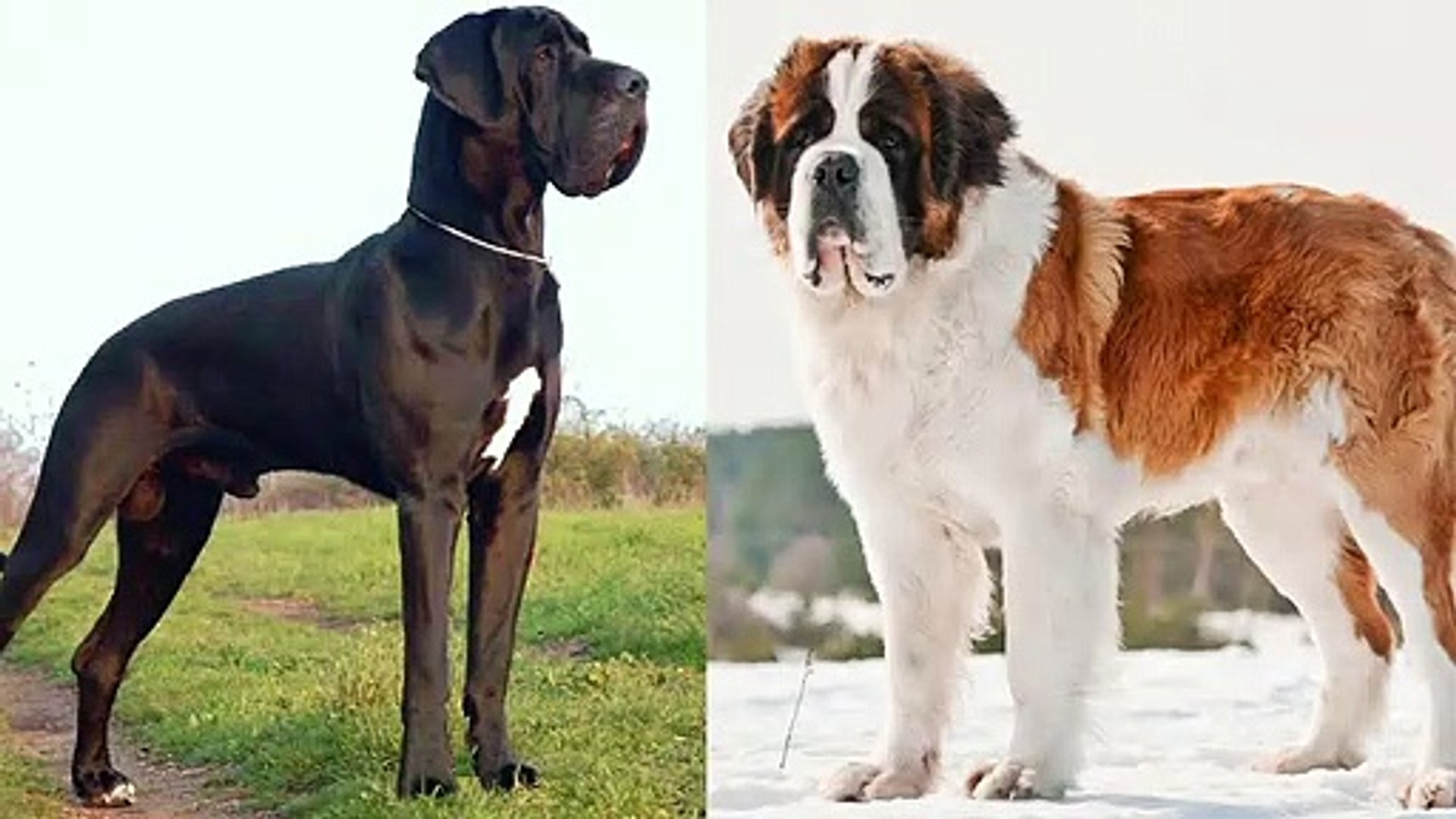 Great Dane vs Saint Bernard - Pet Guide | Funny Pet Videos