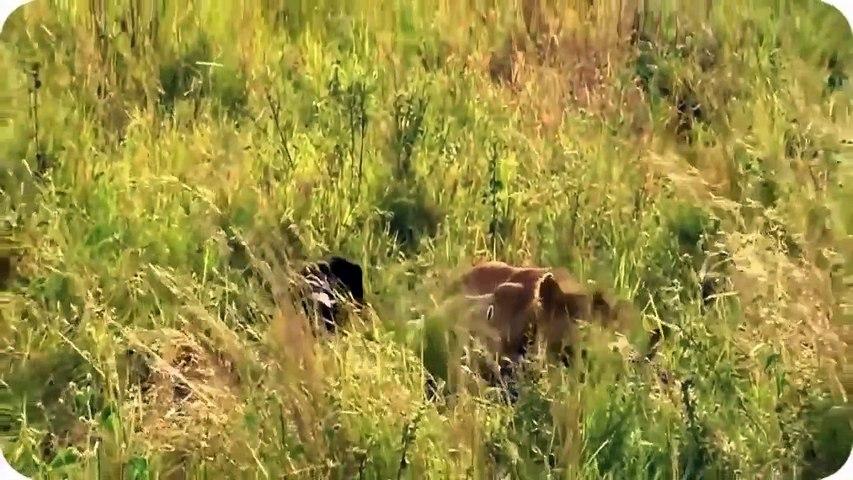 Amazing Wild Animal Attacks Compilation - Lion, Crocodile, Elephant, Hyna, Buffalo, Zebra