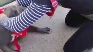 Un pitbull devient totalement fou de joie en comprenant qu'il est adopté