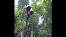 Un panda un peu trop ambitieux grimpe bien trop haut dans l'arbre... Et bim
