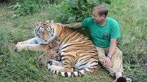 Grand moment de tendresse entre un dresseur et une famille de tigres